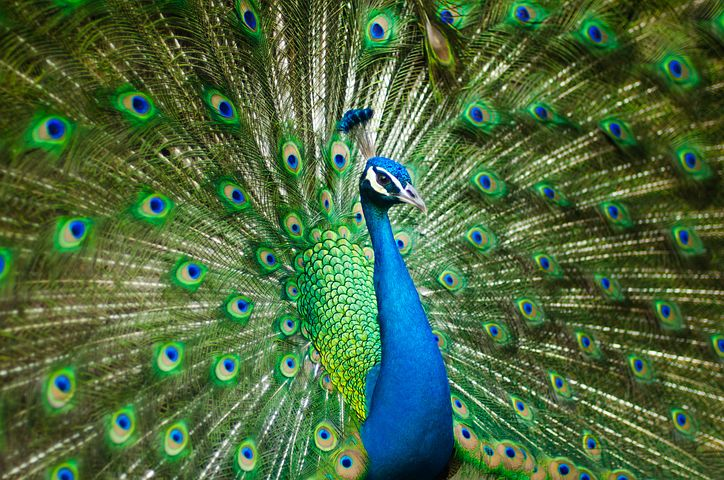 Pride of a peacock
